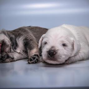 Happy pup by Joseph Belcher - Animals - Dogs Puppies ( canine, new, schnauzer, litter, fur, puppy )
