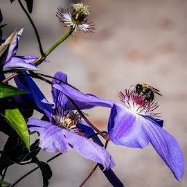 The Bumblebee and the Clematis Jungle by Ed Stines - Flowers Flower Gardens ( plant, nature, clematis, bee, nectar, bumblebee, insect, flower )