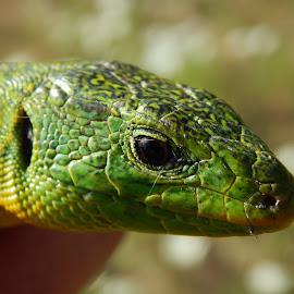 by Marijan Alaniz - Animals Reptiles