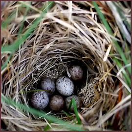 Babies to Be by Nancy Bowen - Novices Only Macro ( babies, eggs, macro photography, nest )