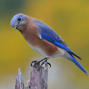 Eastern Bluebird - peeking in by Steven Liffmann - Animals Birds ( bird, perched, bluebird, wildlife, backyard, eastern bluebird,  )