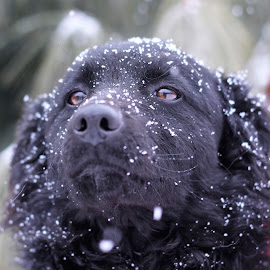 Kali by Suzana Svečnjak - Animals - Dogs Portraits ( dogs, croatian shepard, pets )