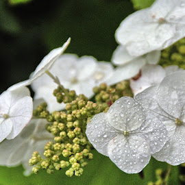 Early Morning by Randi Hodson - Flowers Flower Gardens ( blossom, dew, plant, flower )