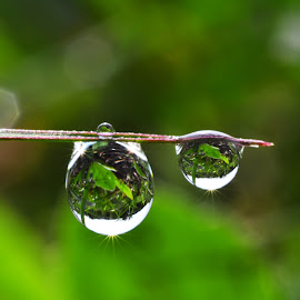 Morning DEW  by Muhamad Lazim - Nature Up Close Natural Waterdrops ( water, nature, macro photography, dew )