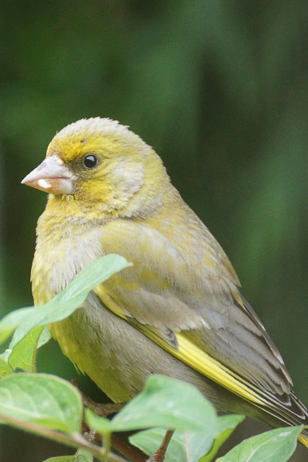 GreenFinch by Mike Hawkwind - Novices Only Wildlife ( greenfinch, garden birds, wildlife, birds )
