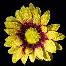 Single bloom by Sue Woollard - Flowers Single Flower ( red, petals, dew, yellow, flower )