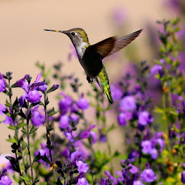 Hummingbird in the garden by Robin Rawlings Wechsler - Animals Birds ( bird, wings, hummingbird, wildlife, flowers, garden )