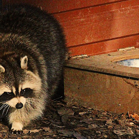 Busy raccoon by Cynthia Magliocco - Animals Other Mammals ( raccoon )