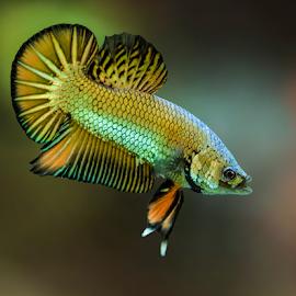 Fighting Fish by Albert Lee - Animals Fish