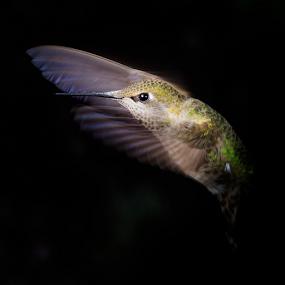 Splendor by Briand Sanderson - Animals Birds ( black background, bird, flight, wings, hummingbird )