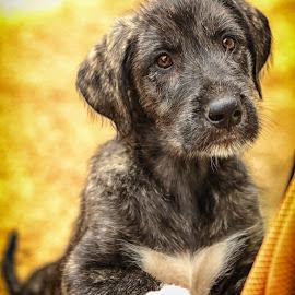 by Simon Barrassy - Animals - Dogs Portraits ( irish wolfhound )