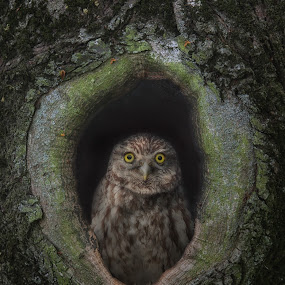 Minerva's Owl by Michael Milfeit - Animals Birds ( eule, steinkauz, athene noctua, baumhöhle, minerva's owl )