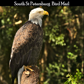 { Bald Eagle Bird Mail stamp ~ 7 July } by Jeffrey Lee - Typography Captioned Photos ( { bald eagle bird mail stamp ~ 7 july } )