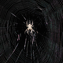 Night Spider 1 by Philip Molyneux - Animals Insects & Spiders