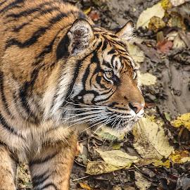 Daseep by Garry Chisholm - Animals Lions, Tigers & Big Cats ( big cat, garry chisholm, predator, carnivore, nature, tiger )