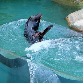 Sea Lion Flips by Dennis Ng - Animals Other Mammals