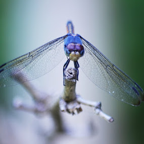 Dragonfly.  by Tathagata Fotography - Animals Insects & Spiders