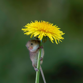 Harvest Mouse with Dandelion shade. by Richard Adams - Animals Other Mammals ( mouse, harvest, macro photography, harvest mouse, dandelion,  )