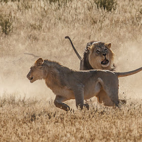 Lion fight Kgalagadi by Tobie Oosthuizen - Animals Lions, Tigers & Big Cats