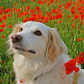 by Simona Serdiuc - Animals - Dogs Portraits ( pet portrait, poppy field, pet, white dog, poppy, dog )