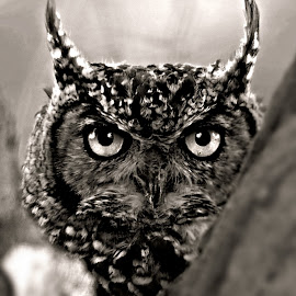 Owl by Pieter J de Villiers - Black & White Animals