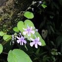 Impatiens scapiflora