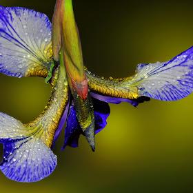 iris naopak.jpg