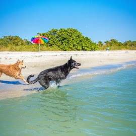 here we go! by Meaghan Browning - Animals - Dogs Playing ( water, german shepherd dog, ocean, leap, golden retriever )