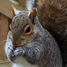 Up Close and Personal by Jeff Galbraith - Animals Other Mammals ( furry, eating, grey, rodent, cute, close-up, squirrel )