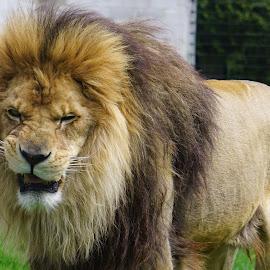The Elvis Lip by Jim Czech - Animals Lions, Tigers & Big Cats ( cats, lion, mane, scowl, fur )