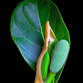 Jackfruit tender by Asif Bora - Nature Up Close Gardens & Produce