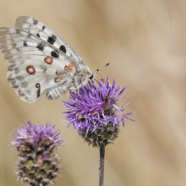 Apollo by Frode Wendelbo - Animals Insects & Spiders ( thistel, butterfly, animals, nature, apollo, apollo butterfly, insects )