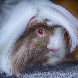 One fancy guinea pig by Brent Morris - Animals Other Mammals