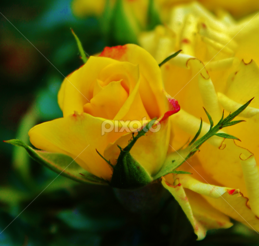Mellow by Laura Bentley - Nature Up Close Flowers - 2011-2013 ( rose, alberta, canada, petals, yellow, garden, flower, soft )