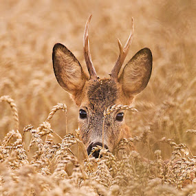 Roe deer by Allan Wallberg - Animals Other Mammals (  )