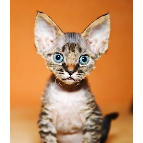 Devon Rex by Oxana Chorna - Animals - Cats Kittens ( devon rex kitten, cat, surprise, cutie )