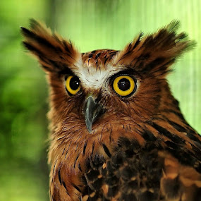 THE_OWL by Chairil Anwar - Animals Birds ( owl )