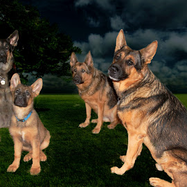 Enjoying the moon light by Dawn Vance - Digital Art Animals ( dogs, digital art, moo, night, german shepherd )