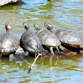 Painted Turtles by Jenifer Gutke - Animals Other ( nature, nature up close, lake, turtles, painted turtles )