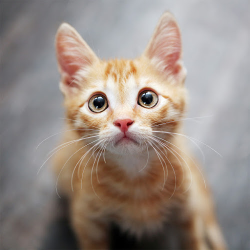 ginger kitten by Ekaterina Kaznacheeva - Animals - Cats Portraits ( cat )