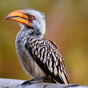 Hornbill by Diane Rogers Jones - Novices Only Wildlife (  )