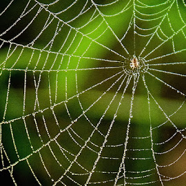 spider in web by Donna Racheal - Nature Up Close Webs ( webs, nature, spider in web, nature up close, spiders web )