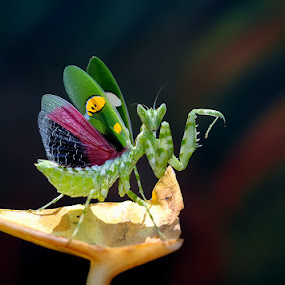 Asian Boxer Mantis by Repindo Nasution - Animals Insects & Spiders ( nature, mantis )
