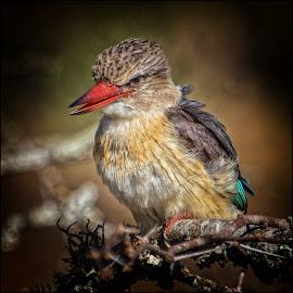 by Denis Smit - Animals Birds