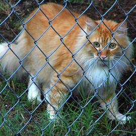 Orange Kitty  by Lorie  Carpenter  - Animals - Cats Portraits ( orange, fence, cat, grass, white, kitty, animal )