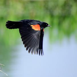 Down Stroke by Jamie Boyce - Animals Birds ( flying, flight, nature, wings, red wing, wildlife, blackbird, birds,  )