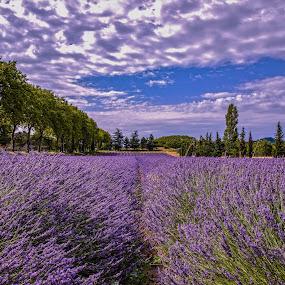 Lavanta field by Arif Sarıyıldız - Landscapes Prairies, Meadows & Fields ( travel photography, purple flower, lavender field, provence, france, colourful )