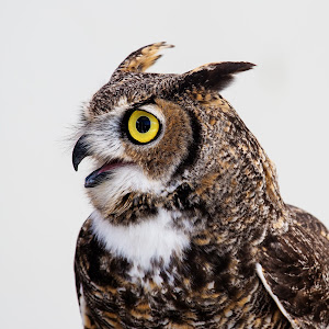 Great-Horned-Owl_TB5A0454.jpg