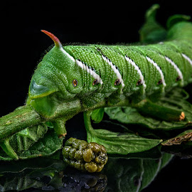 Tail End of Things by Richard Reames - Animals Insects & Spiders ( tomato bug, macro, macro photography, bug, hornworm, insect )