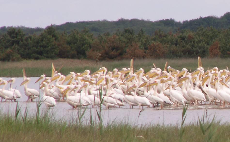 Пеликаны на Кинбурнской косе